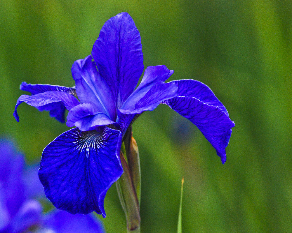 2 quote a flower daily blue iris 4 2 quote a flower. Black Bedroom Furniture Sets. Home Design Ideas