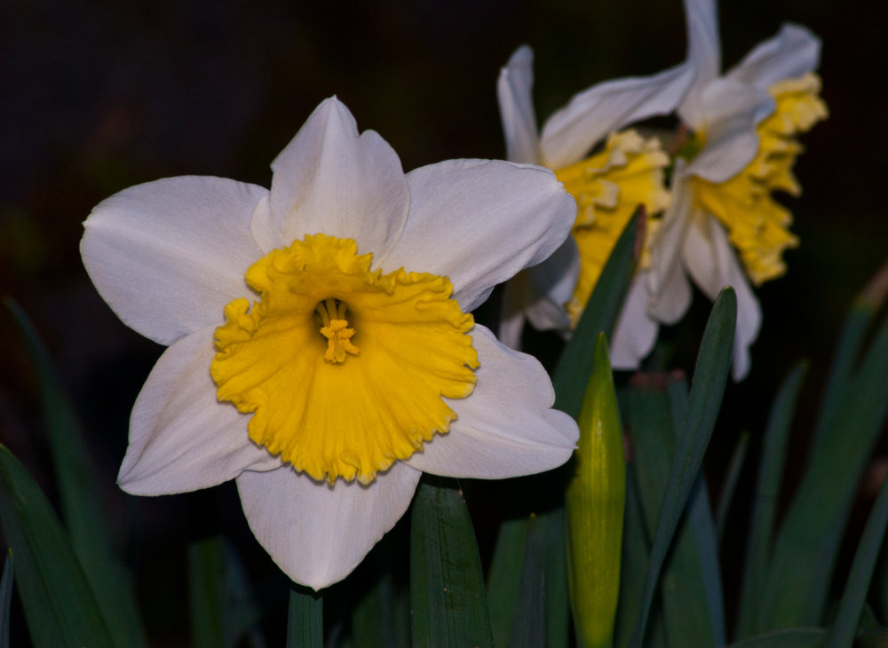 2 Quote A Flower Daily - White Daffodils