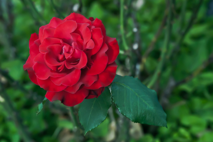 2 Quote A Flower Daily - Red Rose