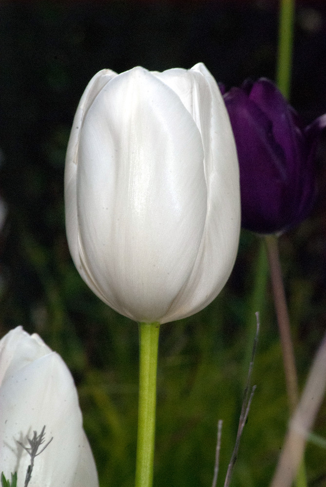 2 Quote A Flower Daily - White Tulip 02