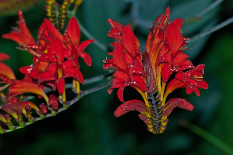 2 Quote A Flower Daily - Crocosmia