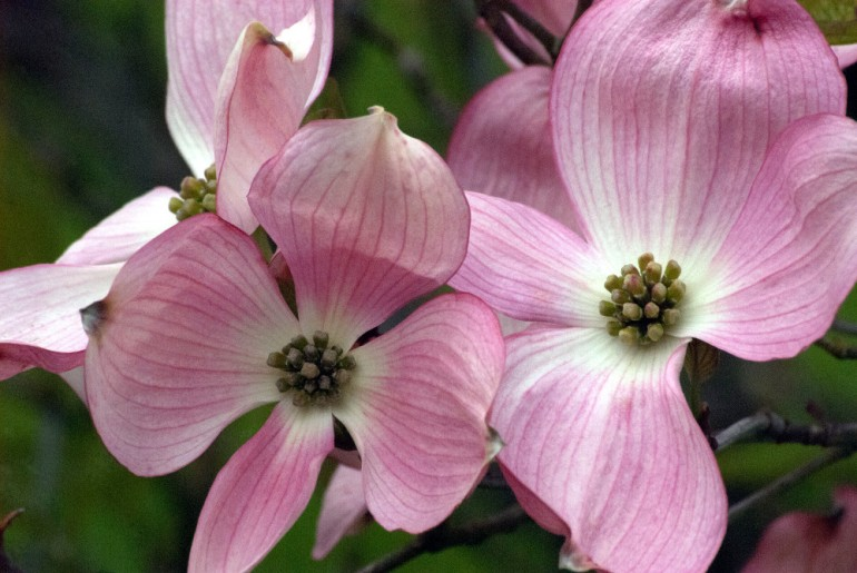 2 Quote A Flower Daily - Dogwood-2