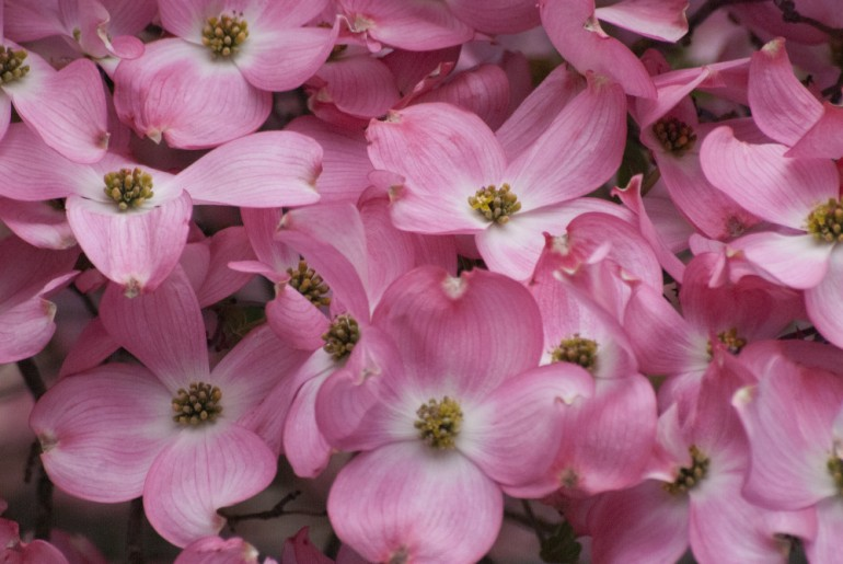 2 Quote A Flower Daily - Dogwood Patterns