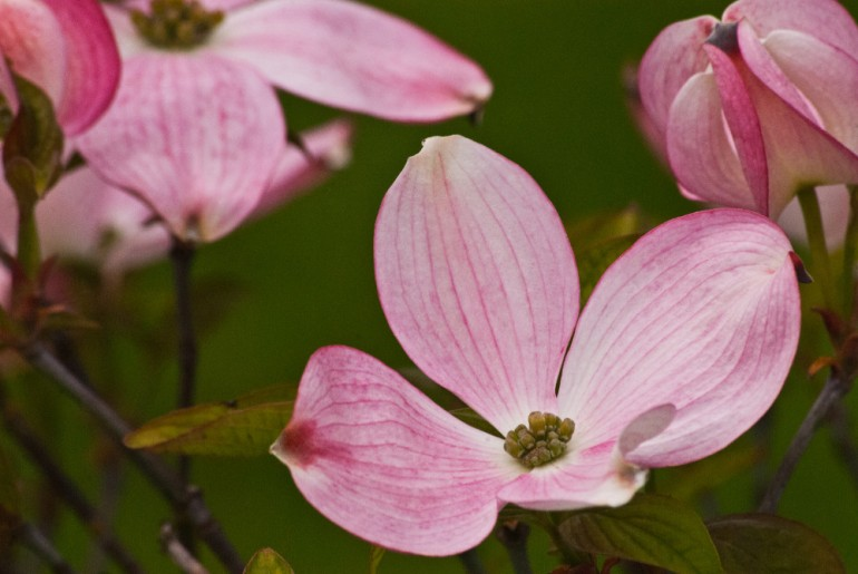 2 Quote A Flower Daily - Dogwood