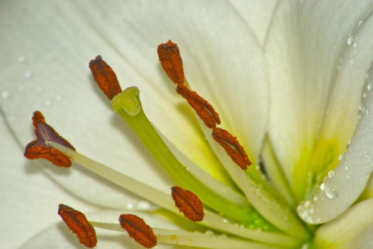 2 Quote A Flower Daily - Lily Stamens