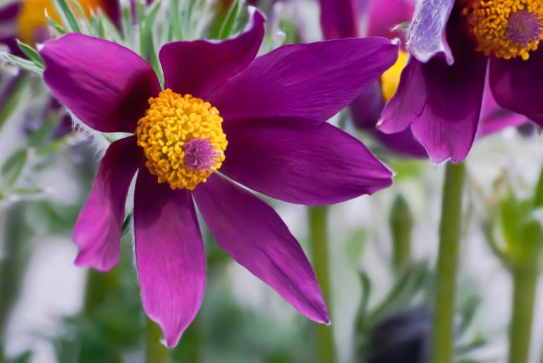 2 Quote A Flower Daily - Maroon Flower