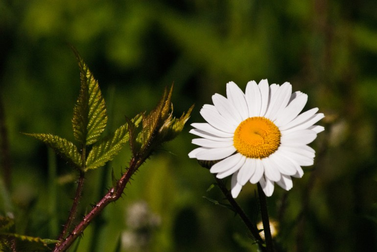 2 Quote A Flower Daily - Mini Daisy