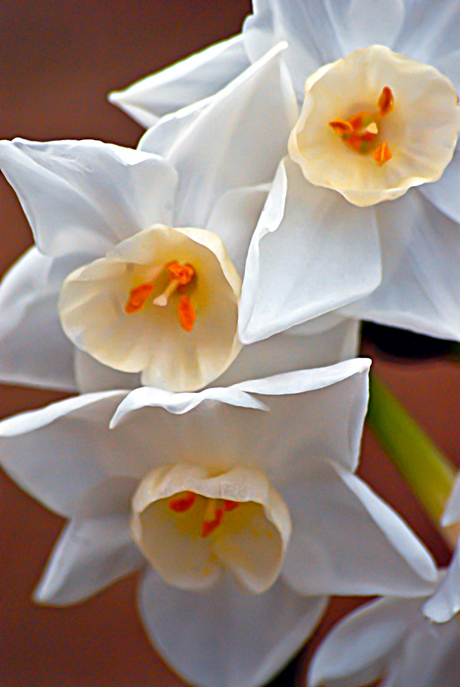 2 Quote A Flower Daily - Mini White Daffodils