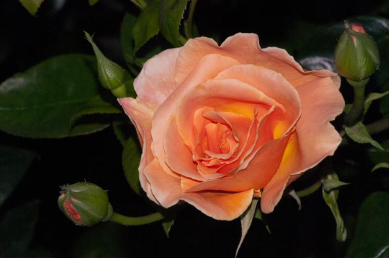 2 Quote A Flower Daily - Peach Rose