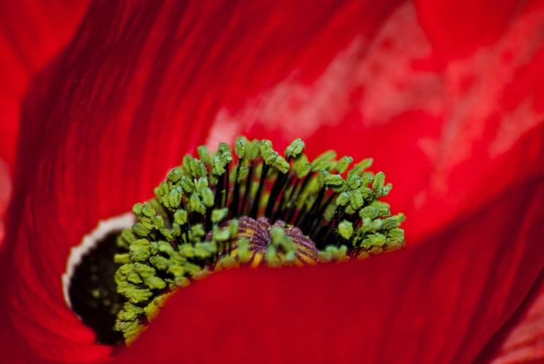 2 Quote A Flower Daily - Poppy Green