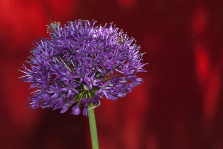 2 Quote A Flower Daily - Purple Alium