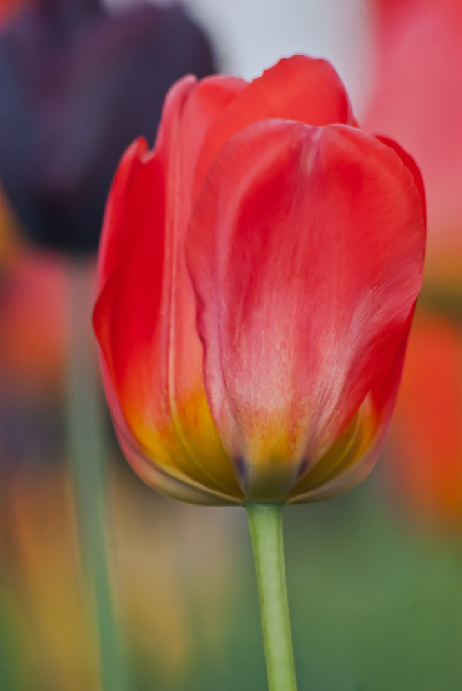 2 Quote A Flower Daily - Red Tulip
