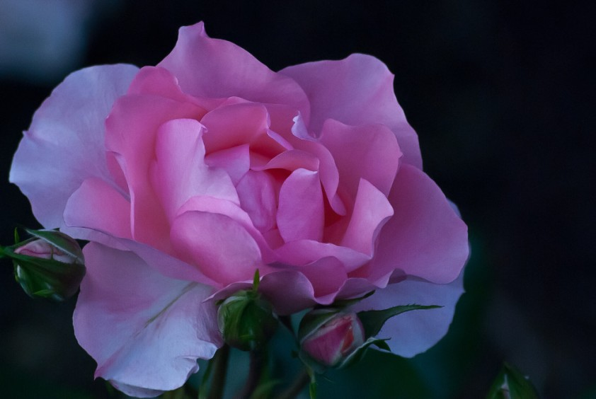 2 Quote A Flower Daily - Rose Blue
