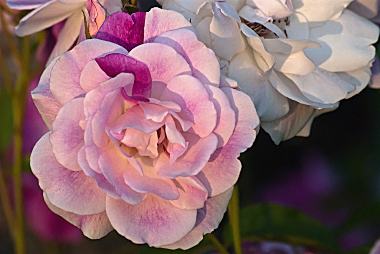 2 Quote A Flower Daily - Rose Hybrid