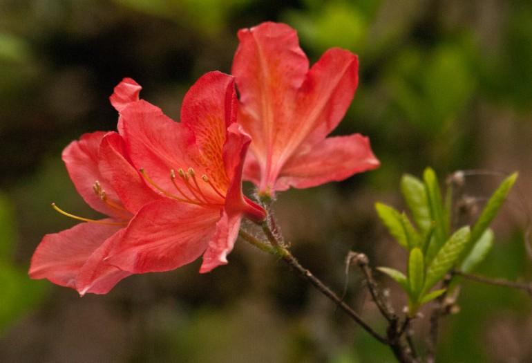 2 Quote A Flower Daily - Salmon Azalea