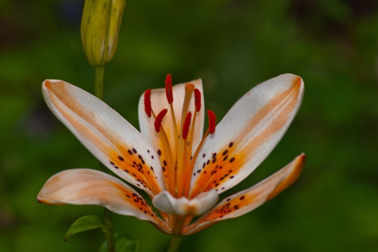 2 Quote A Flower Daily - Tiger Lily Orange