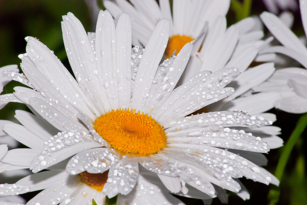 2 Quote A Flower Daily - Wet Daisy 03
