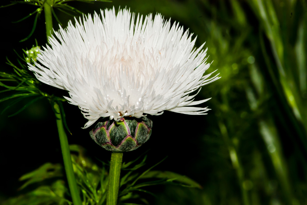 2 Quote A Flower Daily - White Clover