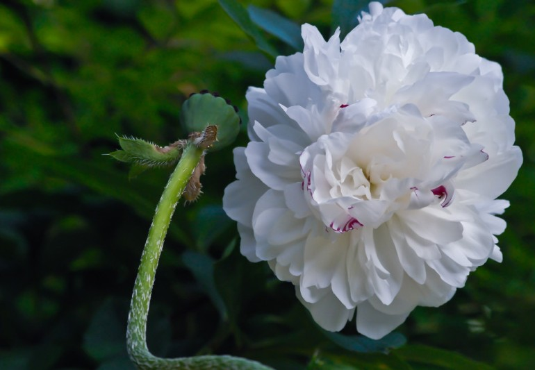 2 Quote A Flower Daily - White Peony 02
