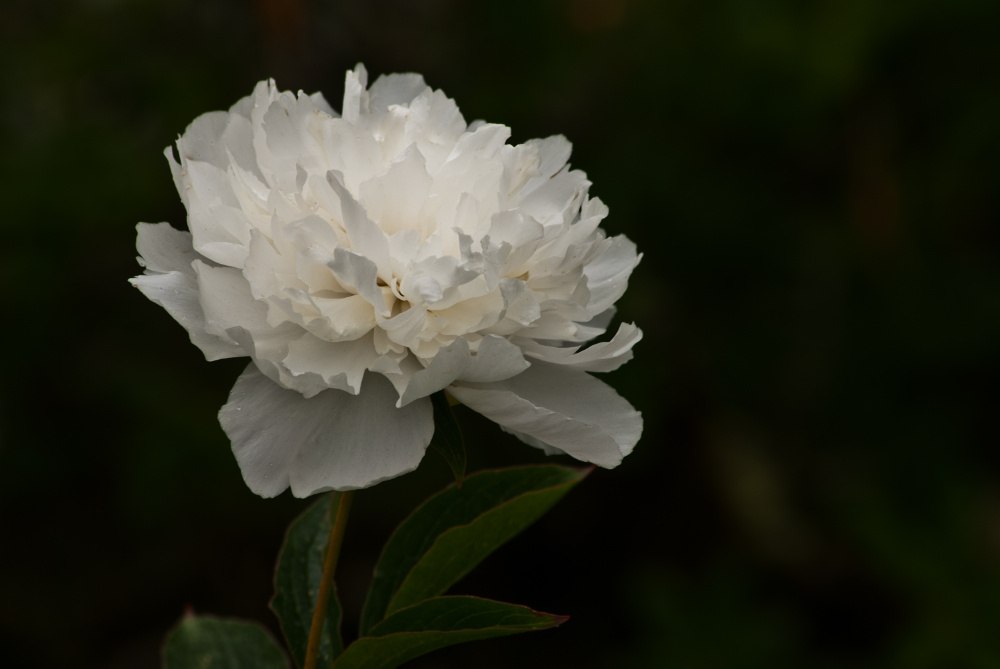 2 Quote A Flower Daily - White Peony