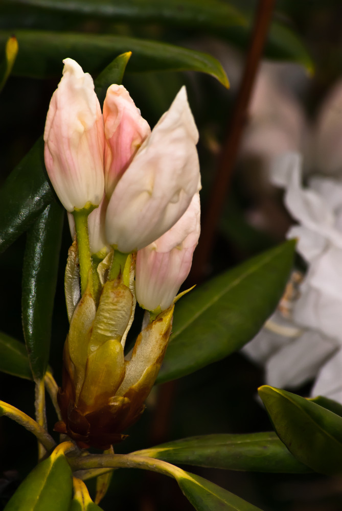 2 Quote A Flower Daily - White Rhododendron Buds
