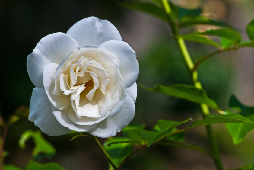 2 Quote A Flower Daily - White Rose