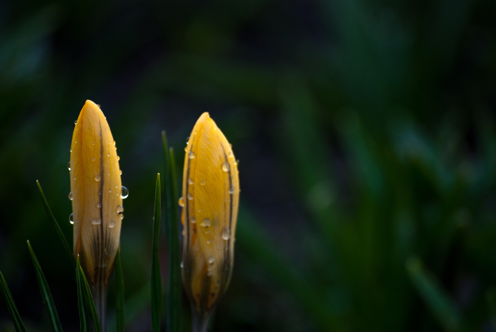 2 Quote A Flower Daily - Two Crocus