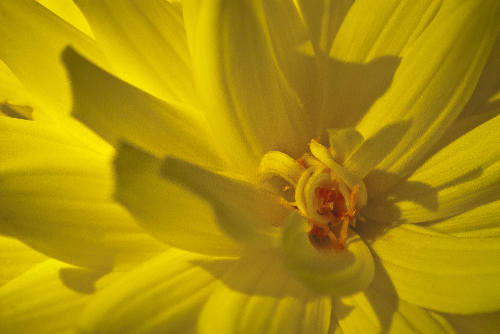2 Quote A Flower Daily - Yellow Dahlia Abstract