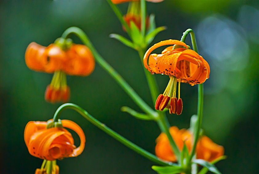 2 Quote A Flower Daily - Columbia Lilies