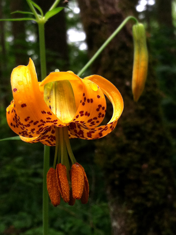 2 Quote A Flower Daily - Columbia Lily