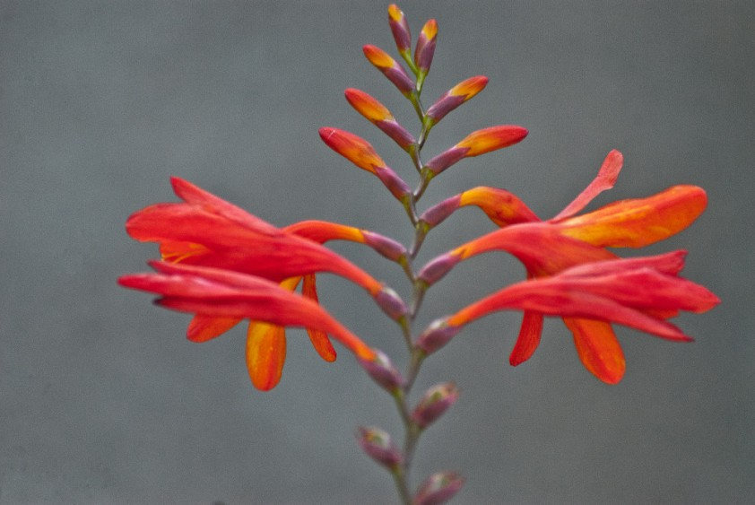 2 Quote A Flower Daily - Crocosmia 01