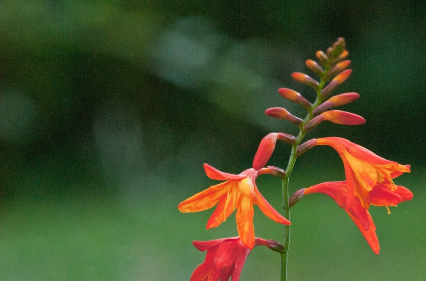2 Quote A Flower Daily - Crocosmia 02
