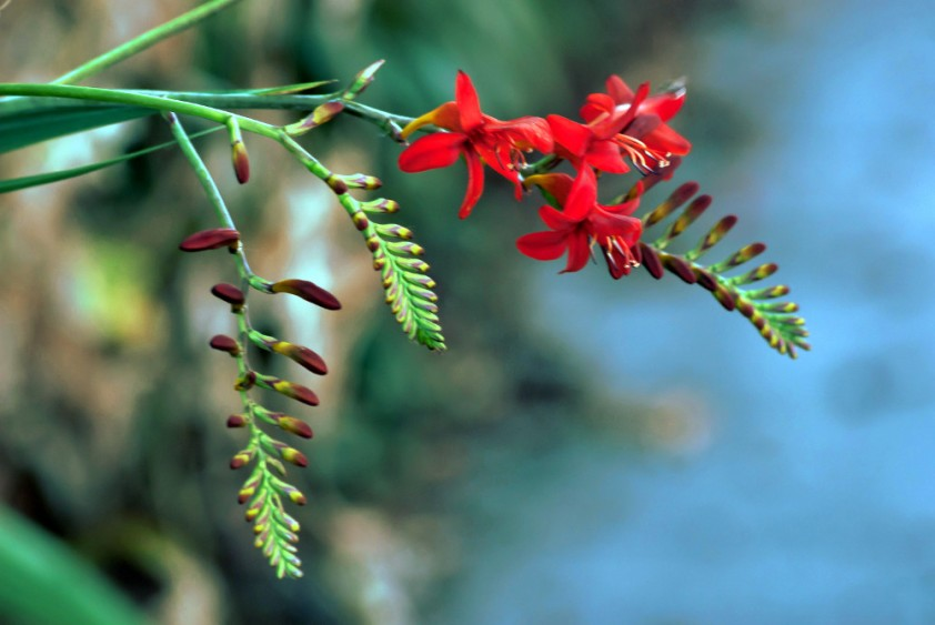 2 Quote A Flower Daily - Crocosmia 04