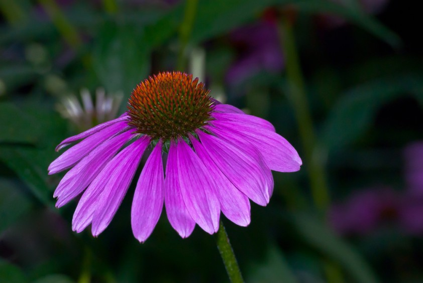 2 Quote A Flower Daily - Echinacia-1