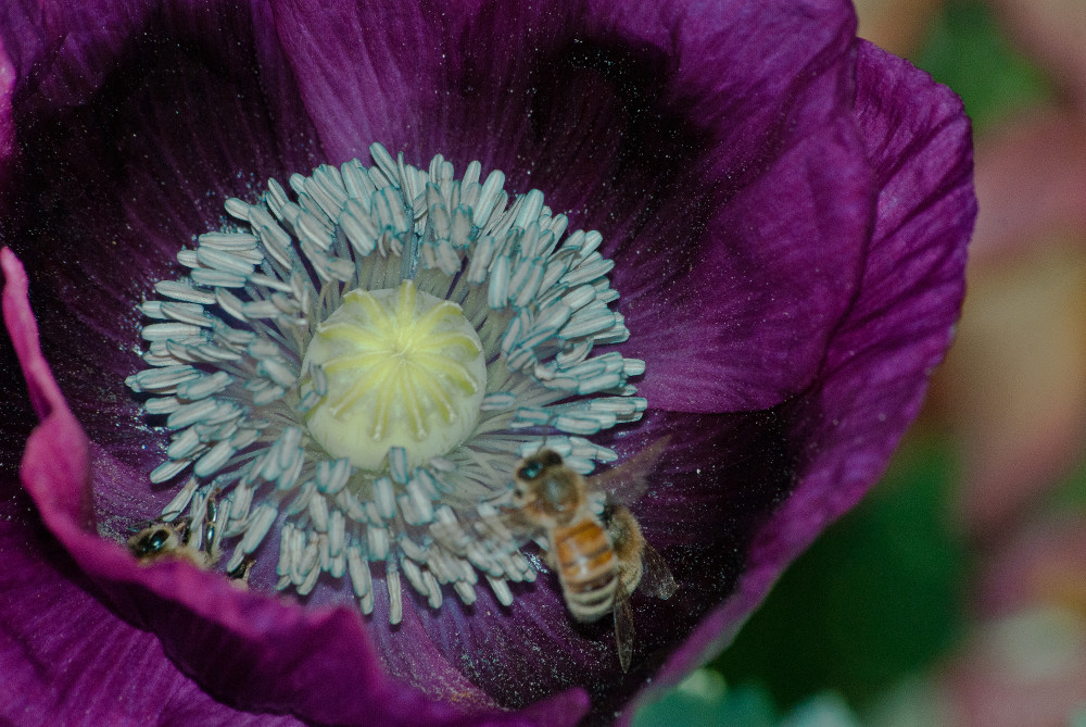 2 Quote A Flower Daily - Purple Poppy with Bee-3