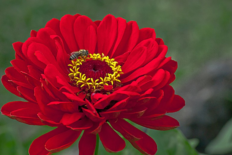 2 Quote A Flower Daily - Red Dahlia with Bee-2