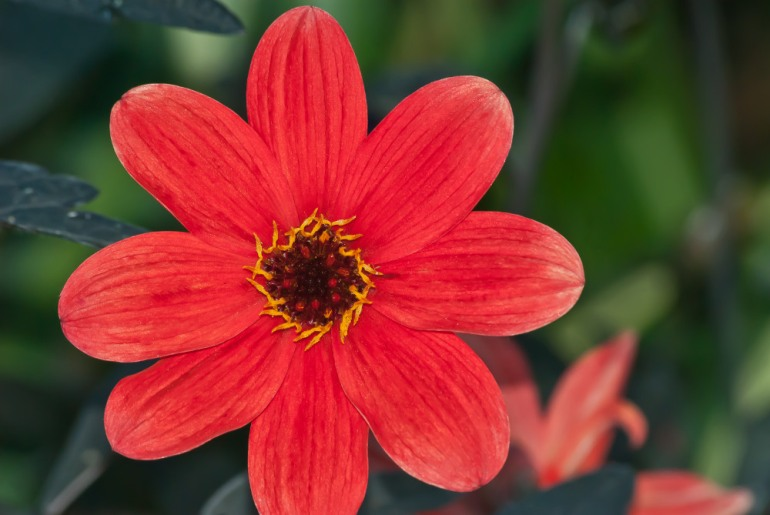 2 Quote A Flower Daily - Red Dahlia