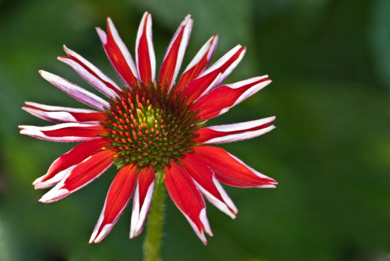 2 Quote A Flower Daily - Red Star