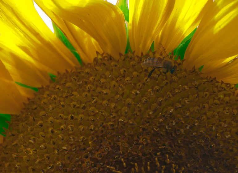 2 Quote A Flower Daily - Sunflower and Bee-2