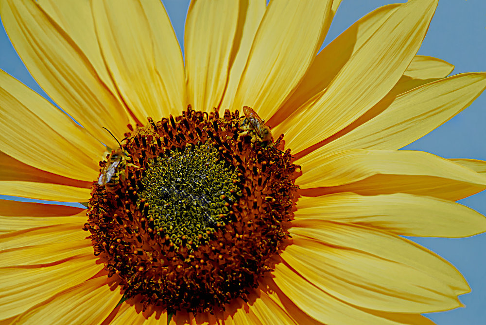 2 Quote A Flower Daily - Sunflower with Bees-2