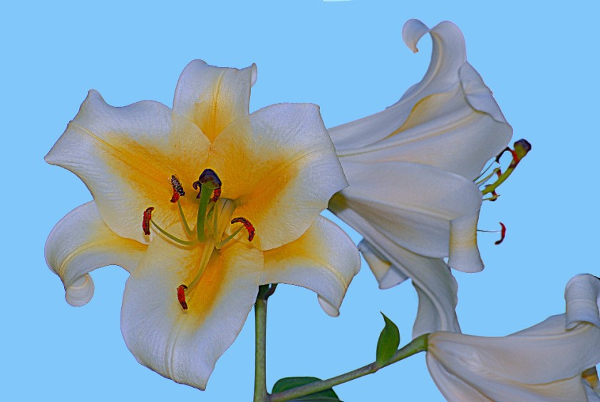 2 Quote A Flower Daily - Trumpet Lily-2
