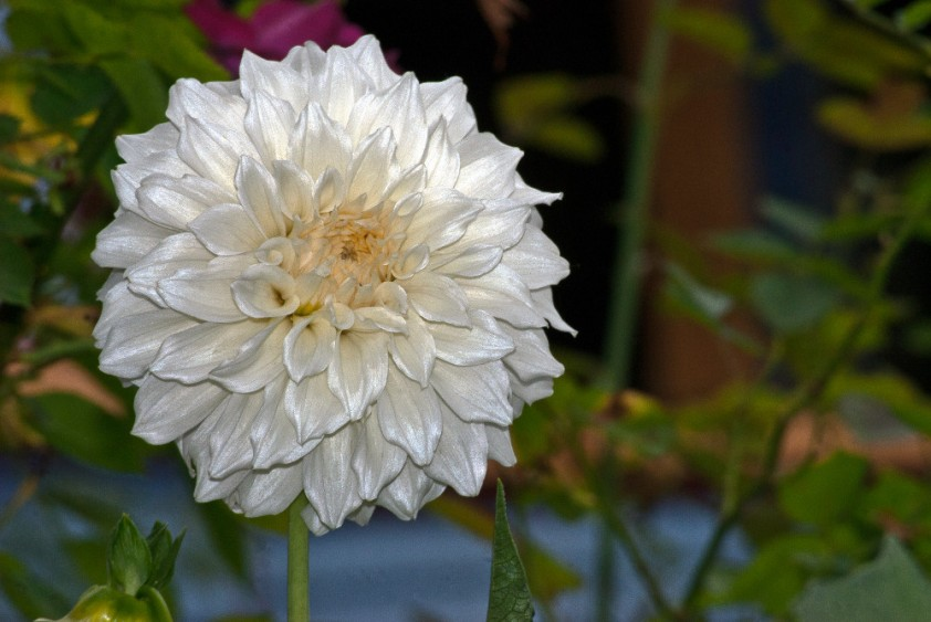 2 Quote A Flower Daily - White Dahlia-2