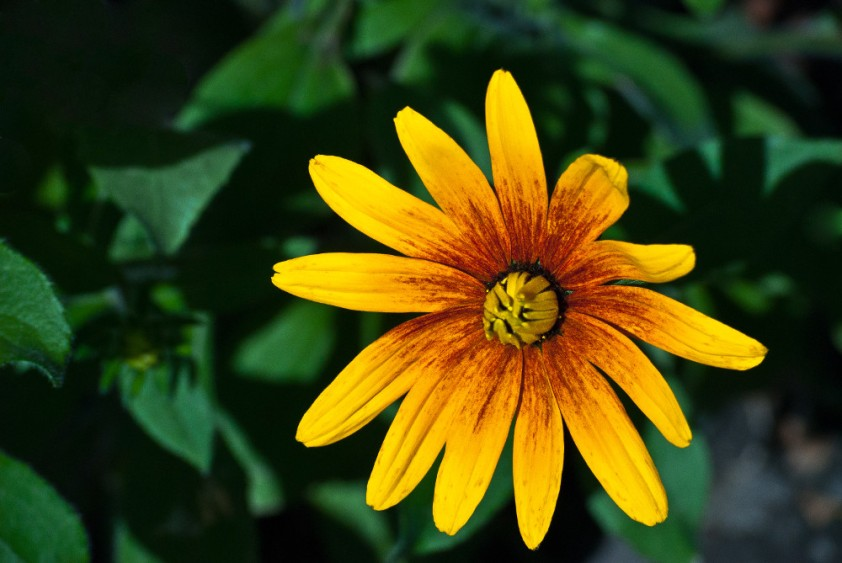 2 Quote A Flower Daily - Yellow Daisy-2