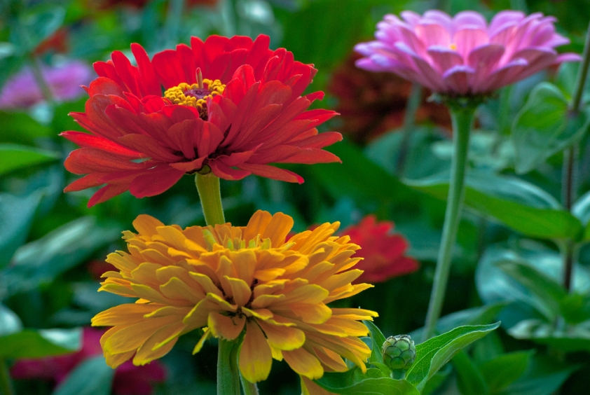 2 Quote A Flower Daily - 3 Zinnias