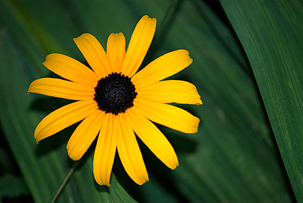 2 Quote A Flower Daily - Brown Eyed Susan