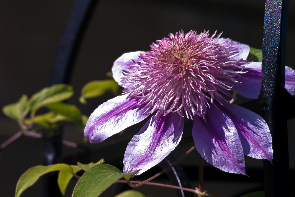2 Quote A Flower Daily - Clematis