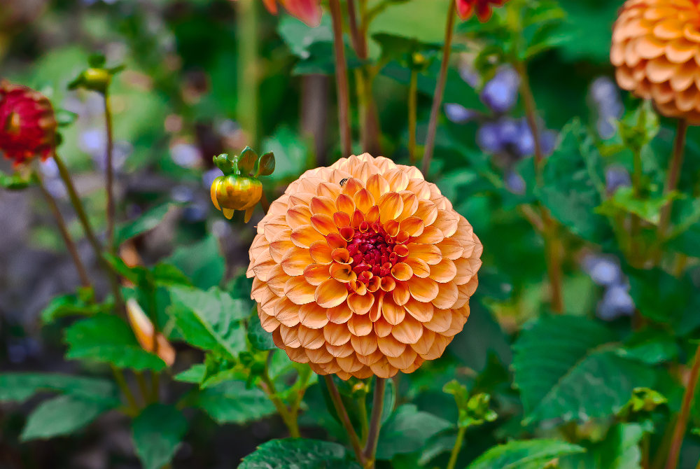 2 Quote A Flower Daily - Salmon Dahlia 02