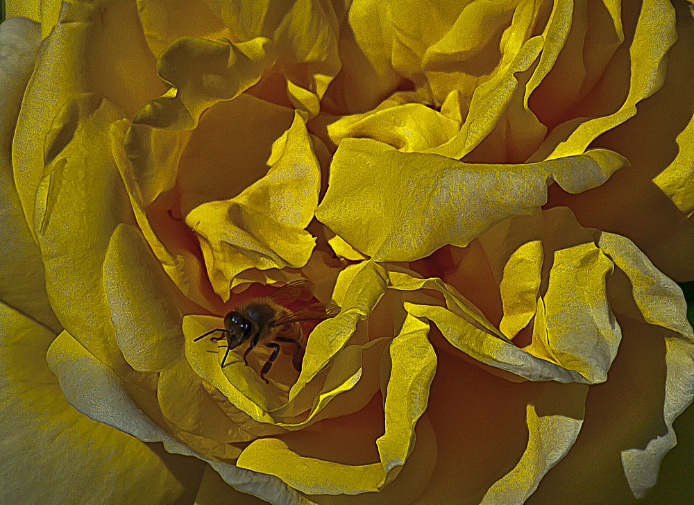 2 Quote A Flower Daily - Yellow Bee Rose Abstract