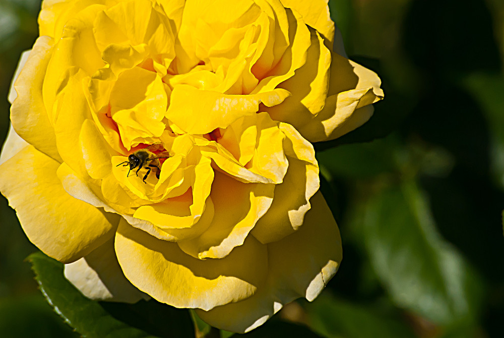 2 Quote A Flower Daily - Bee Rose