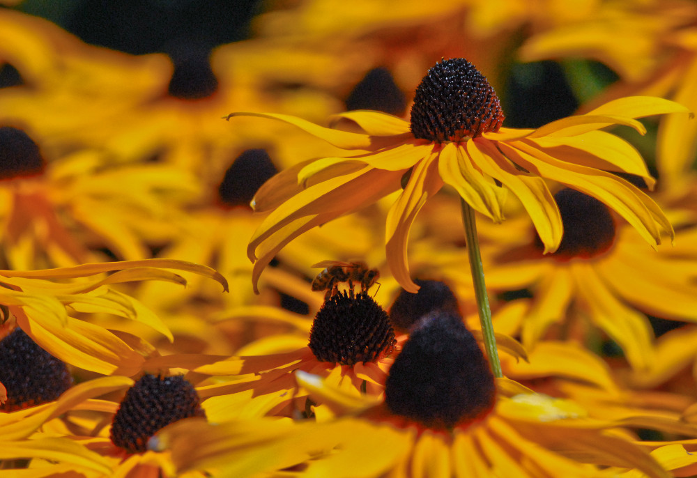 2 Quote A Flower Daily - Black Eyed Susan with Bee